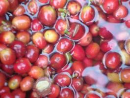 Geisha Coffee Berries